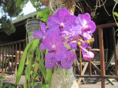 Thailand's Official Flower - the Orchid