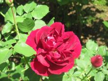One of the many varieties of roses in the Rose Garden.
