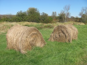 Lots of hay farming on the dyke land,