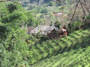 Tea growing on one of the tea plantations.