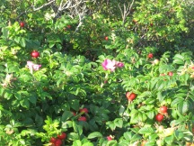 Wild rose bushes