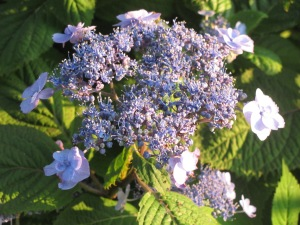 Summer hydrangea