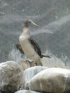 A blue-footed boobie at the Cuenca zoo.