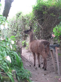 My unexpected guest in my garden in Otavalo