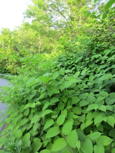 "The Japanese Knotweed or ""Godzilla"" along side our road."