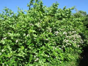 Another invasive (the wild rose) which can get easily out of control if not cut back - constantly.
