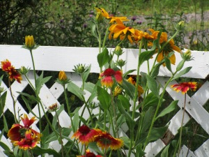Black-eyed Susans in one of my flower beds.