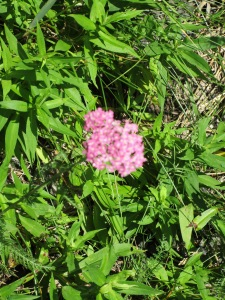 This could be phlox - a perennial?