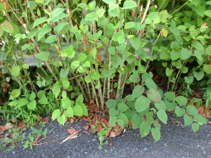 That dreaded knotweed - again!