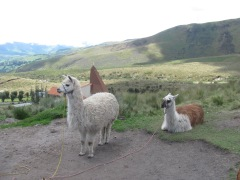 Cute alpacas.