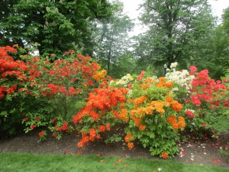 Rhododendrums in all their glory.
