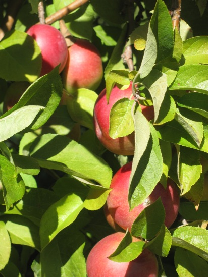 Apples are a staple in the Valley.