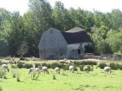 A sheep farm in Annapolis Co.