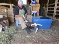 A sheep farmer bottle feeding his baby lambs.