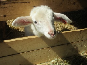 One of his baby lambs waiting to be fed.