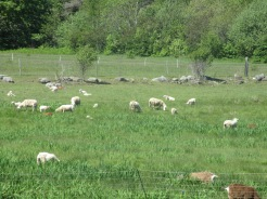 Sheep farm in Port Royal