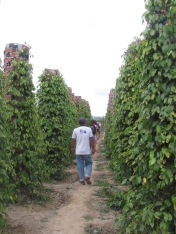 One of Cambodia's largest pepper farms.